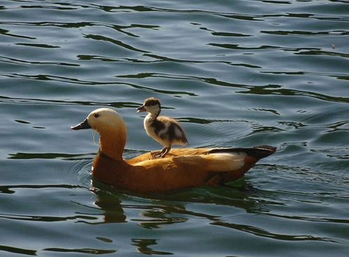 Why get wet?Beautiful Animal, Baby Ducks, Mothers Nature, Awesome Birds, Creatures, Baby Animal, Mama Ducks, Feathers Friends, Adorable Animal