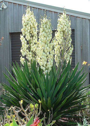 Adams Needle, Yucca filamentosa, Shrub Seeds (Showy Hardy Evergreen)