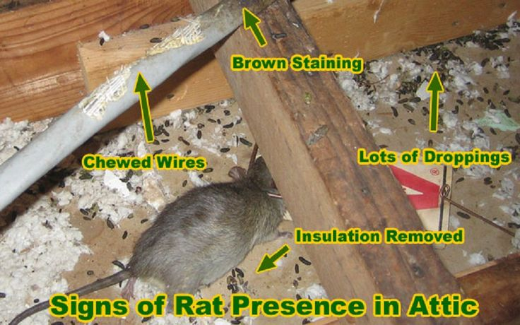 It's rare that in our duct cleaning tasks we find a rat infestation, but it does happen