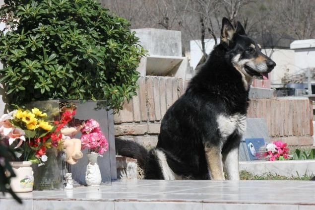 For the past 6 years, a German shepherd called Capitán has slept next to the grave of his owner every night at 6pm. His owner, Miguel Guzmán died in 2006. Capitán, the dog, disappeared while the family attended the funeral services. A week later relatives of Guzmán were visiting the cemetery when they were astounded to find the dog next to the owner's grave. The cemetery director says that the dog comes around each night at 6pm, and has done so for the past 6 years. @Becky Dwyer