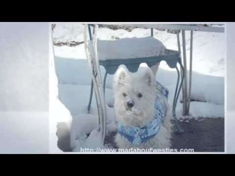 Funny Westie Videos To Make You Smile