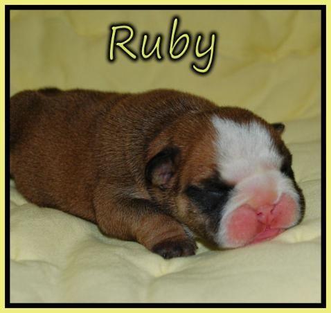 English bulldog puppies for sale, Bulldogs for sale,Bulldog puppies