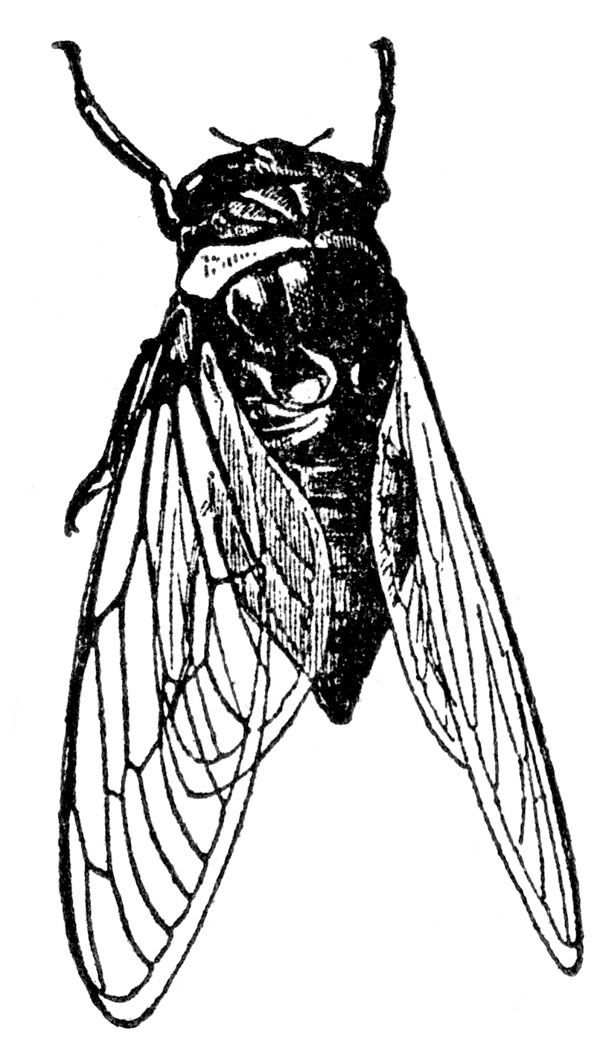 http://karenswhimsy.com/public-domain-images/pictures-of-insects/images/cicada.jpg