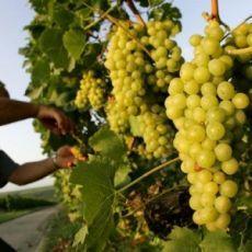 Секреты ежегодной урожайности лозы: советы начинающим виногрядарям