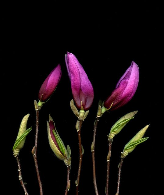 42233 Magnolia by horticultural art, via Flickr