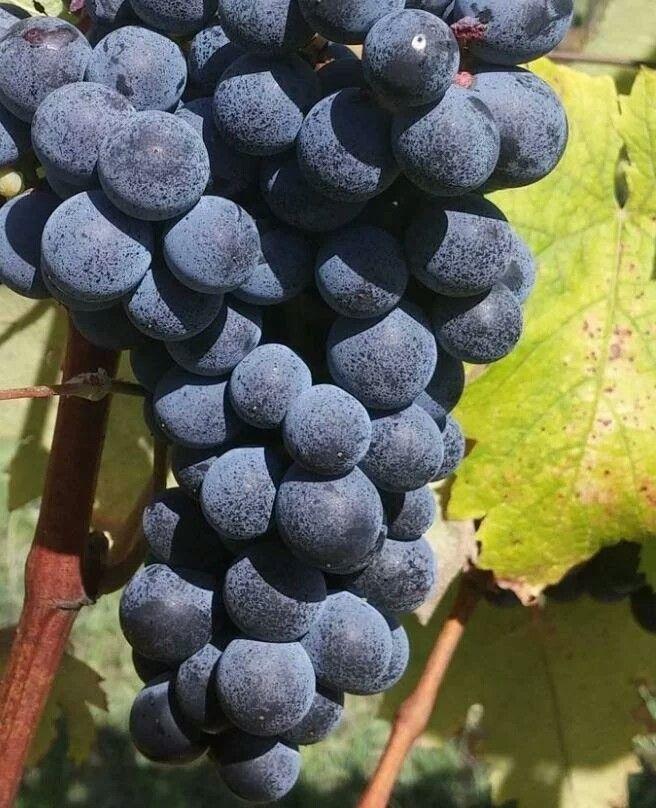 Canaiolo Nero is het vriendje van Sangiovese en Malvasia. De druif wordt gebruikt ik een heel populaire wijn. Weet jij welke wijn dat is?  Lees het op http://www.wijngekken.nl/?p=39884  #canaiolonero #malvasia #sangiovese #italië