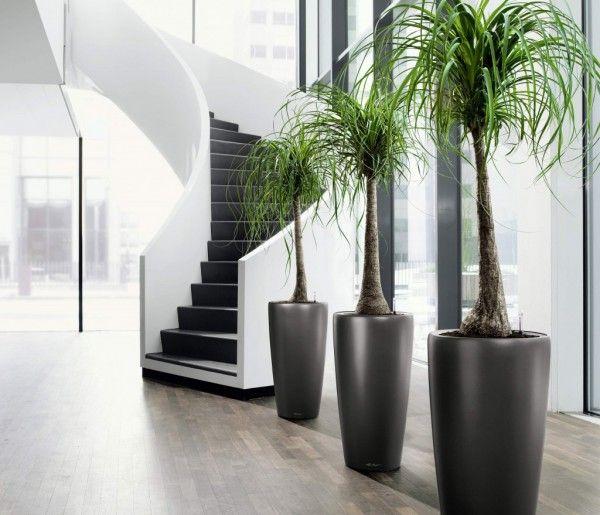 Plantas de interiores: pata de elefante em vaso.