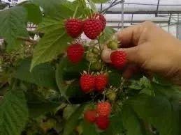 planta adultas de frambuesas rojas: super dulces!!!