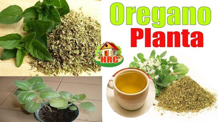 Muchos Usan el oregano y No Saben que una Sola Hoja de esta Planta les P...