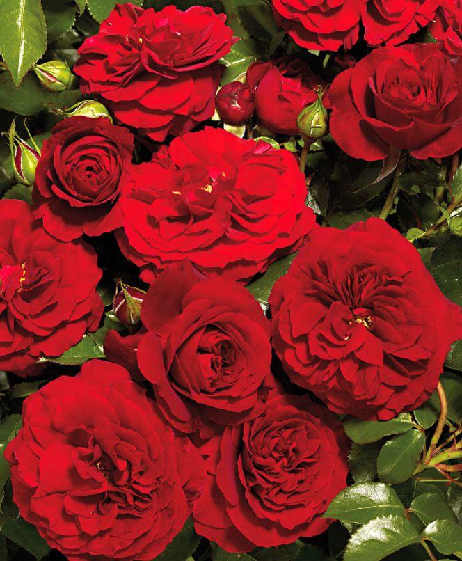 #courtyard #rosarampicante #farruca #summer #estate #flowers #fiori #red #rosso
