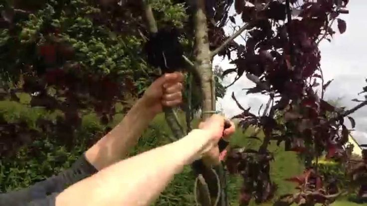 How to Remove Cutting Globes - Roots Fill the Globe & Branch may be Cut ...