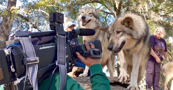Recent News and Upcoming Events at Seacrest Wolf Preserve located in Chipley, Florida, just minutes away from Panama City Beach. A great adventure.