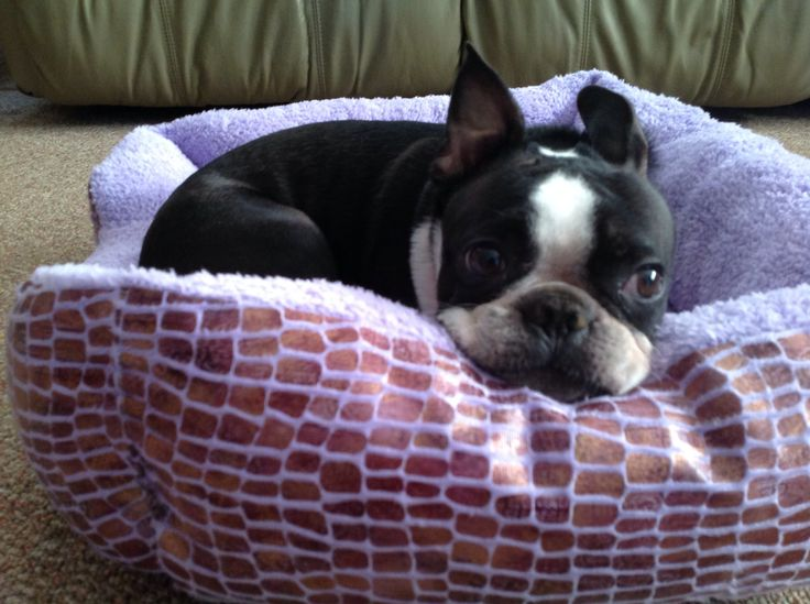 Boston Terrier -- I love this pose, esp when on the arm of the chair.  Too cute for words!