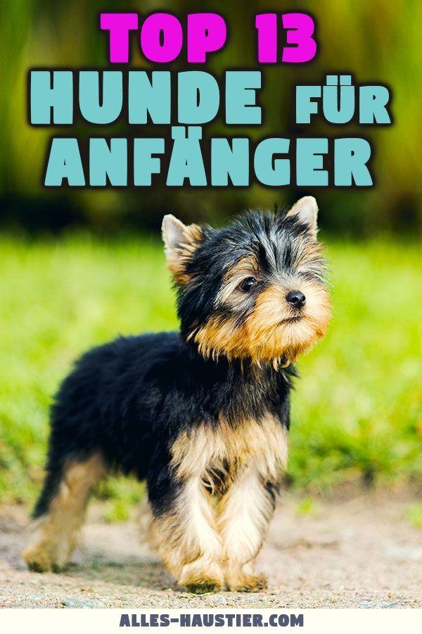 Die Besten Hunderassen Fur Anfanger Midoggy Community Hunderassen Hunde Rassen Hunderassen Kleine Hunde