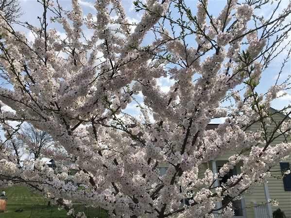 Yoshino Cherry Tree Yoshino Cherry Tree Flowering Cherry Tree Shade Trees