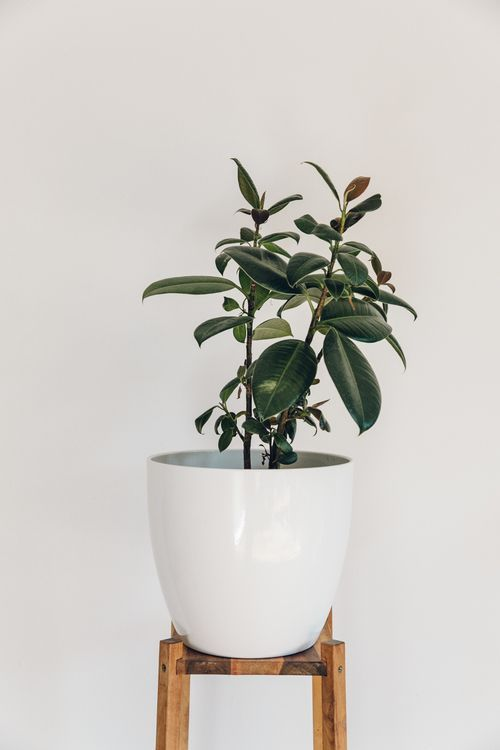 Ficus elastica (Rubber Plant) on an old IKEA plant stand.