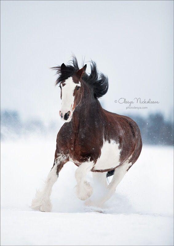Знакомьтесь, это Шарлотта.) Наша новая красавица породы Клейдесдаль. Ждёт малыша в конце апреля....) ----  📸: @olesya_nickolaeva .  ----  Meet this Charlotte.) Our new beautiful breed Clydesdale horse. Waiting for the baby in late April ....) ----