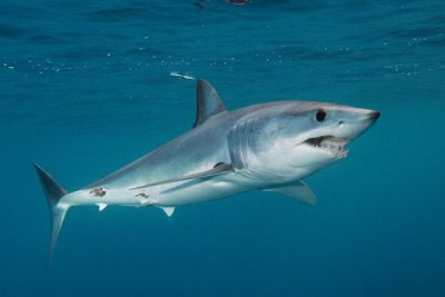 Mako Shark - my fave! The fastest in the ocean!