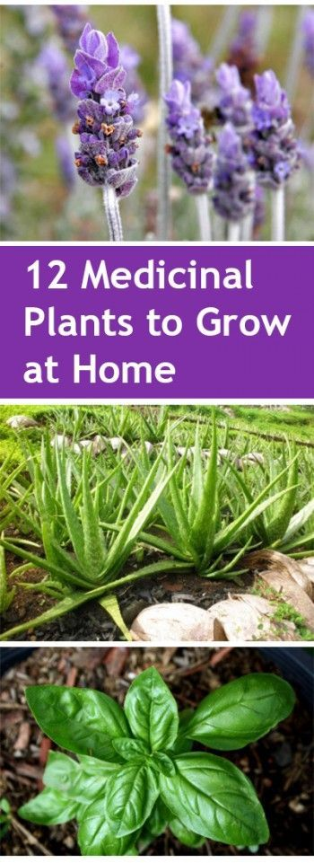 Medicinal Plants to Grow at Home