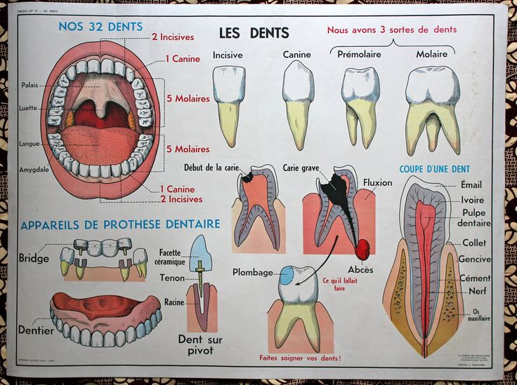 PROMO -20% - Vintage Human Anatomy, French school poster. The TEETH - The…