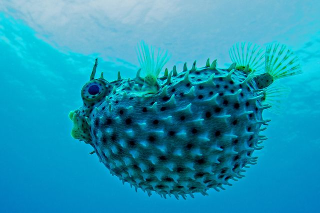 1000 images about puffer fish kogelvis on pinterest for Puffer fish florida