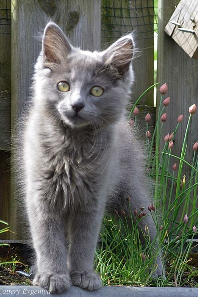 Russian Blue Cats Kittens Eugeniyas Cattery Nebelung Xenia The