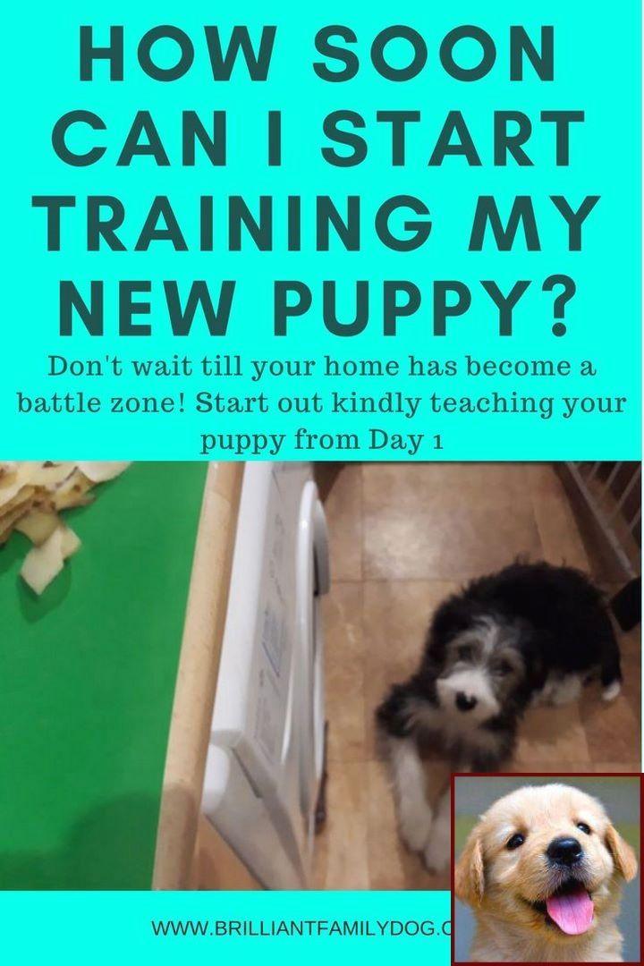 House Training A English Bulldog Puppy And Dog Trainer Class Near
