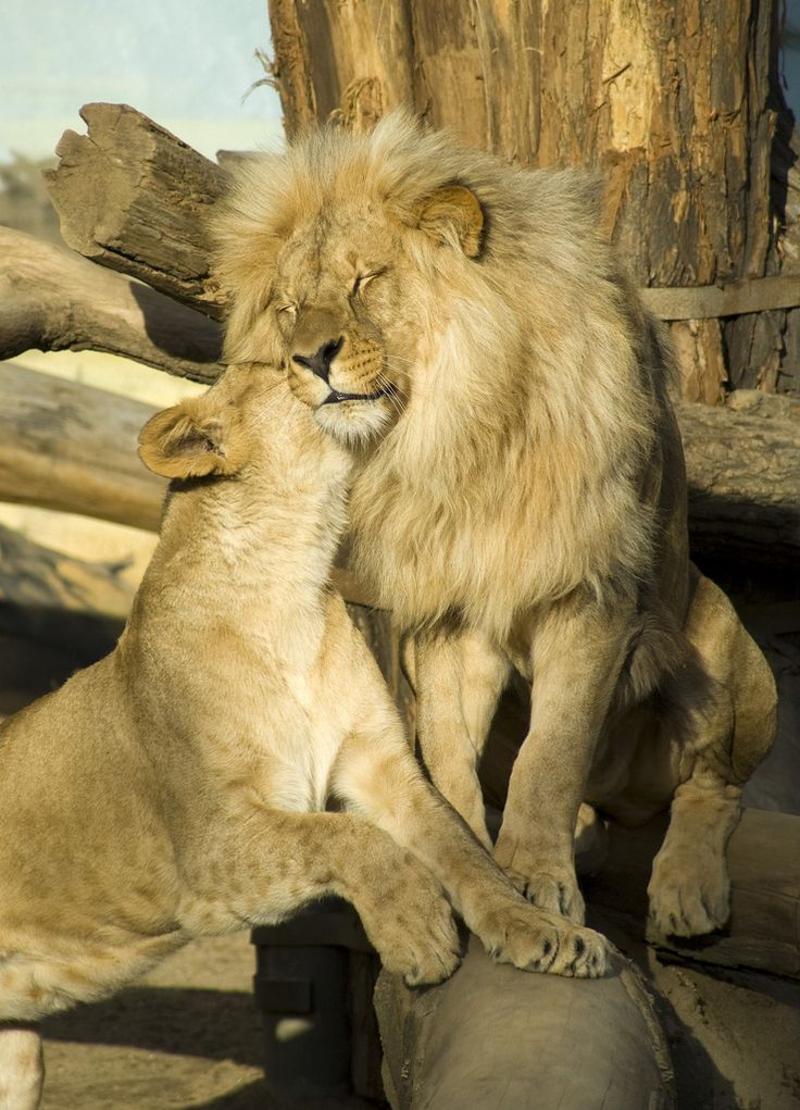 https://flic.kr/p/7LC1d5 | Lion couple 1 | Having a romantic moment :)