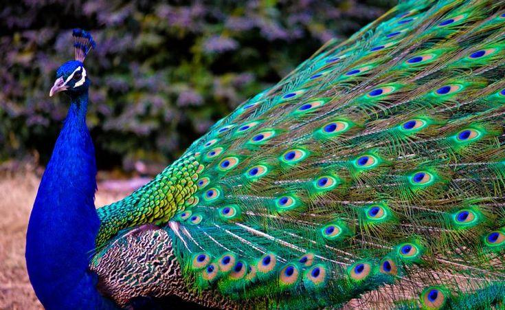 Burungnya.com – Burung Merak merupakan salah satu jenis burung yang paling beruntung karena memiliki bulu yang sangat indah. Bulu burung Merak seakan bisa menyala saat terkena cahaya. Apakah ada yang istimewa di balik di keindahan bulu burung Merak? Untuk mengetahuinya, para ilmuwan dari Univertas Fudan melakukan serangkaian penelitian guna mengungkap apa yang membuat bulu Merak …