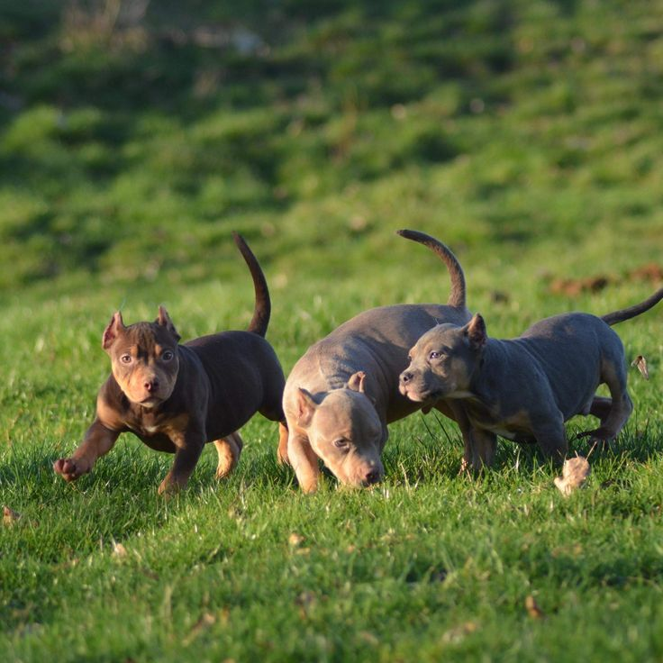 Xl american bully puppies for sale uk