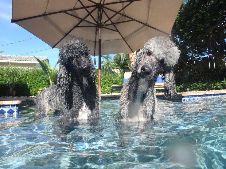 Swimming poodel fun