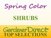 Pringles Dwarf Podocarpus Yew - 3 Gallon - Shrubs - Deer Resistant - Buy Plants Online