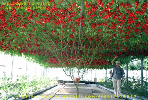 tomato tree in the world | 10 trees = 666 sq.m = thousands of pounds of tomatoes.