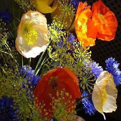 200+ Iceland Poppy Flower Seeds , Under The Sun Seeds