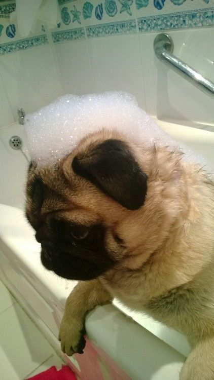 Rub a dub scrub in the tub - Nice sudsy Mohawk! If you purchase your pet supplies online, why not get cash back too! Watch the short video that explains how ...http://iLoveShoppingCashBack.com #pug