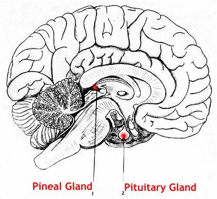 Cervello umano: Ghiandola Pineale e Ghiandola Pituaria
