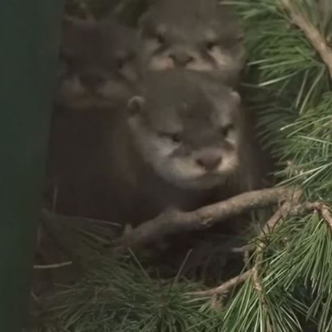 """Sorry, guys. Can't hang out tonight. Gotta watch this otter baby video again."" – You  Congratulations to Asian small-clawed otter parents Teratai and Guntur on another healthy litter. The four pups, born back in December, are just now getting more mobile and have finally opened their eyes. More:http://bit.ly/wpzotterpups  #ottersofinstagram #otter #babyanimals #adorable #cute #fridayfeeling #animallovers #newborn #babies"