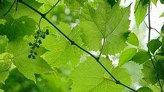 La vigne des rivages ou raisin sauvage
