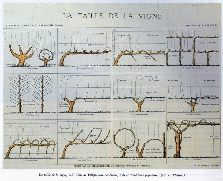 Best 25 taille de la vigne ideas on pinterest - Taille vigne raisin de table ...