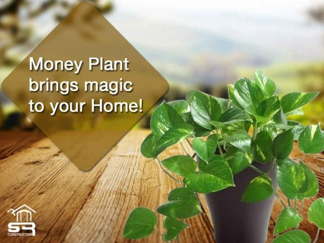 Money Plant Vastu Money plant brings magic to your home! According to Feng Shui … – Home Renovating