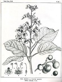 Margaret Flockton - Botanical Artist