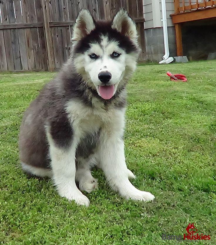 Siberian Huskies For Sale « Bama Huskies