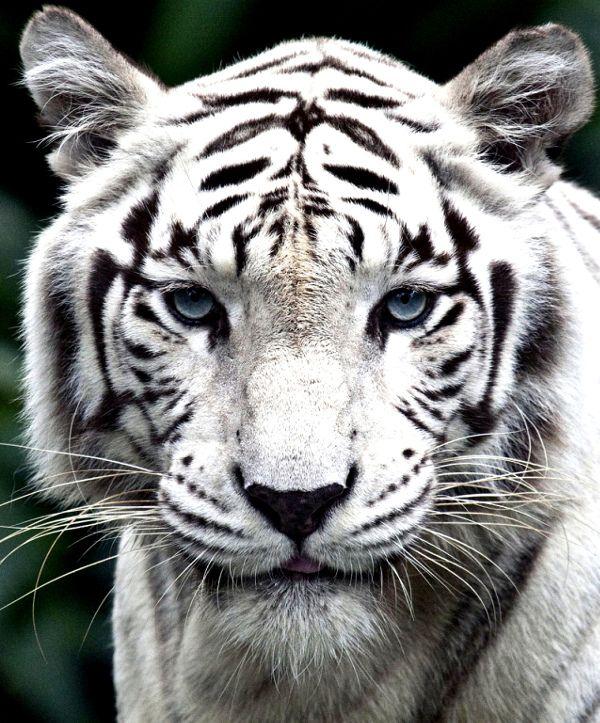 Felino, Animali, Tigre