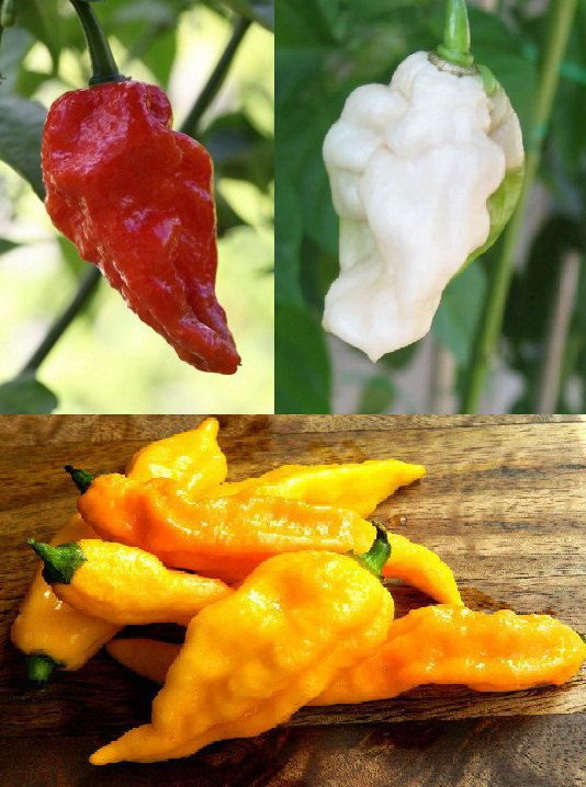 BHUT JOLOKIA CHILLI Red, Yellow, White (5 SEEDS)  Buying a pack of 5 seeds. You have to choose the color you want. Red, Yellow or White  The Bhut Jolokia has been measured as one of the worlds hottest chilli peppers. It is an inter-specific hybrid cultivated in the Assam region of India and also grows in Nagaland, Manipur and Bangladesh. Recognised as one of the hottest peppers in the world, their extreme heat will add a real kick to any dish.  Cultivation The seeds are relatively easy to…