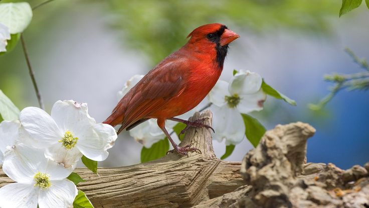 #1965160, Widescreen cardinal picture