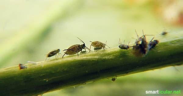 Machen dir die Läuse Ärger? Egal ob Wollläuse, Blutläse oder normale Blattläuse, in dieser Liste findest du garantiert ein funktionierendes Gegenmittel!