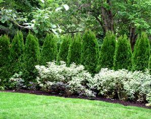 Arborvitae hedge & white flowering shrubs