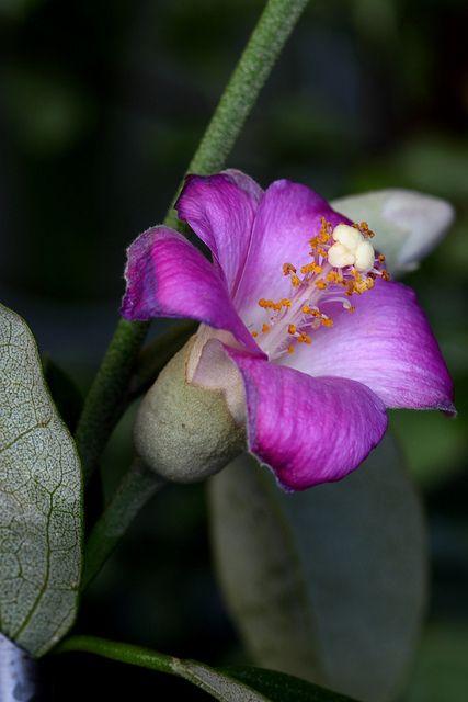 Lagunaria Patersonii- Norfolk Island Hibiscus