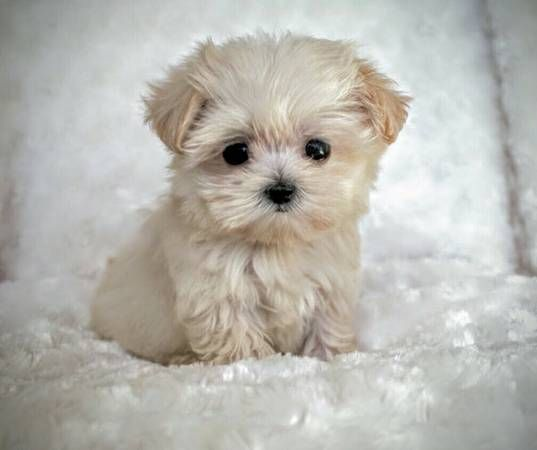 550 for girl maltipoo Cute animals, Cute little puppies