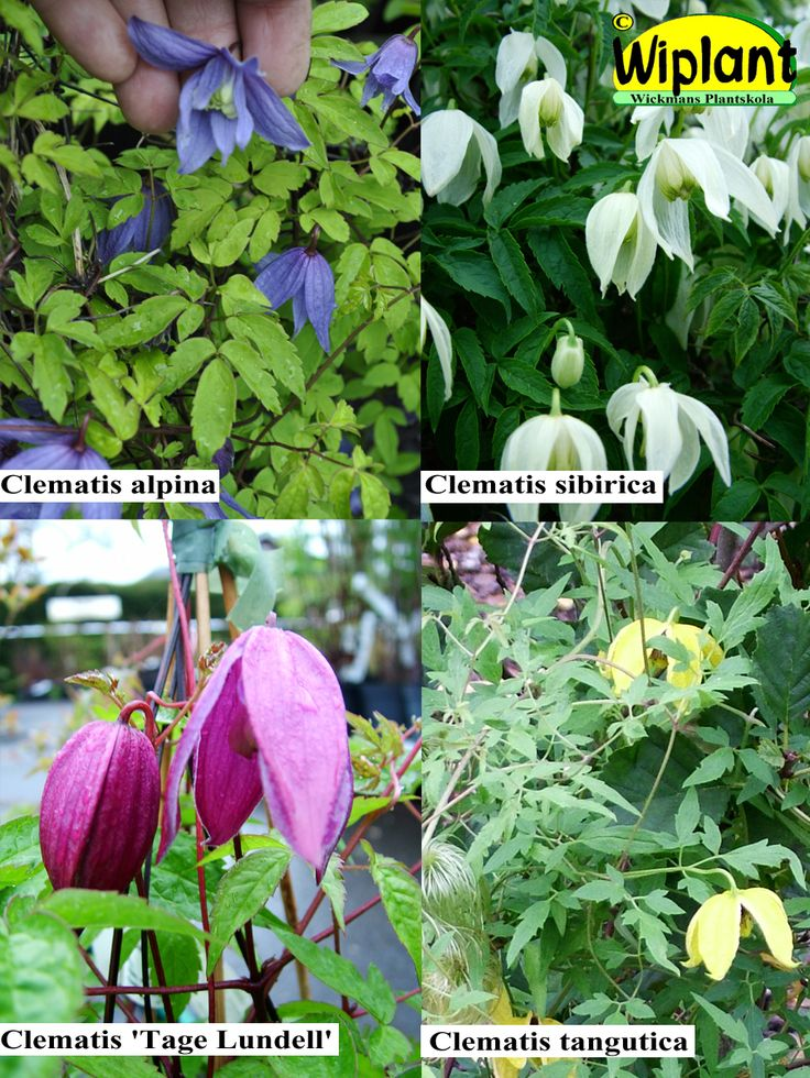 Småblommig clematis. Olika sorter med små klockformade blommor. Alpina sorter är köldtåliga och ej krävande. Plantera på väldränerad plats. Klipp där det växer för mycket.